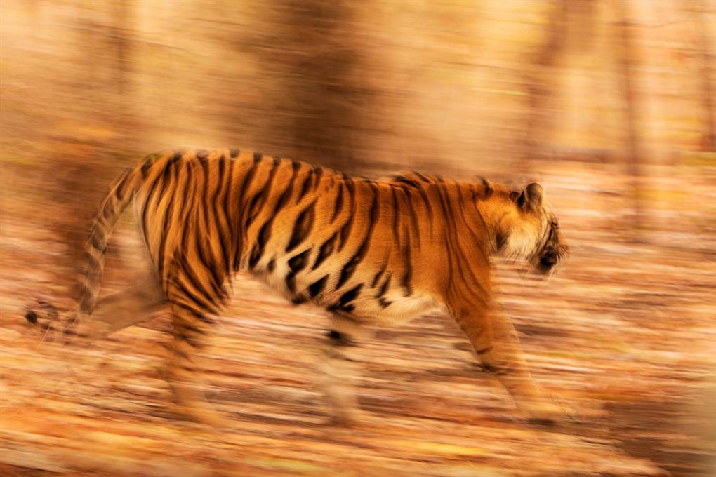 Bandhavgarh - Royal Bengal Tiger